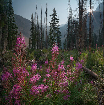 Fireweed Sunrise // Bob Marshall Wilderness  Poster