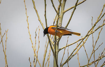 Poster featuring the photograph First Baltimore Oriole Of The Year  by Ricky L Jones