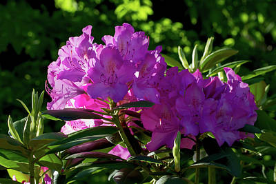 First Light On The Rhododendrons Poster by John Haldane