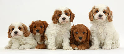 Five Cavapoo Puppies Poster by Mark Taylor