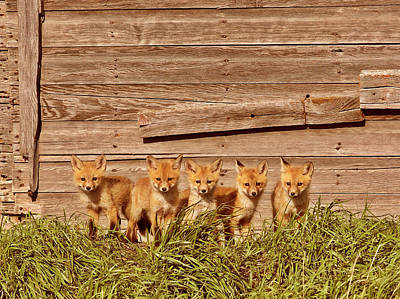 Five Fox Kits By Old Saskatchewan Granary Poster
