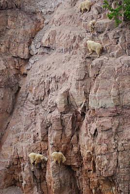 Five Goats Climbing Poster