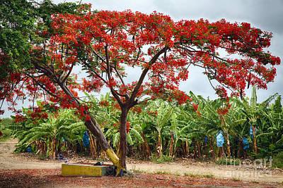Flamboyan Treee Blooming On A Banana Plantation Poster