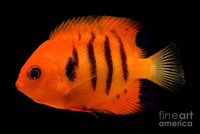 Flame Angelfish Poster by Dante Fenolio
