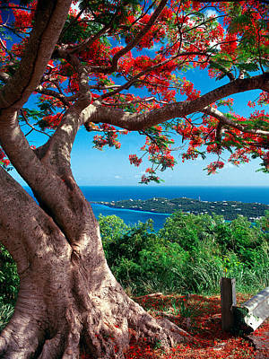 Flame Tree St Thomas Poster
