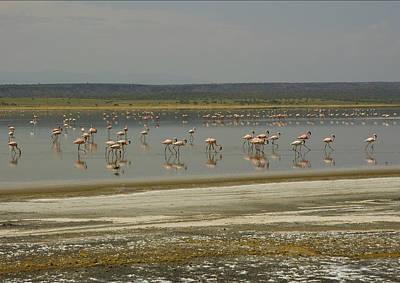 Flamingos Magadi Hot Springs Kenya Poster by Patrick Kain