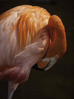 Poster featuring the photograph Flamingo Preening by Rob Wilson