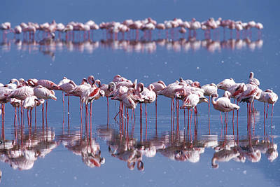 Flamingo Reflection - Lake Nakuru Poster by Sandra Bronstein