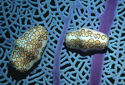 Flamingo Tongue Shells On Sea Fan Poster