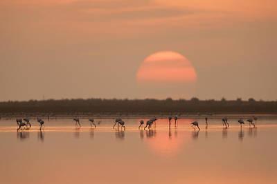 Flamingos At Sunrise Poster by Joan Gil Raga
