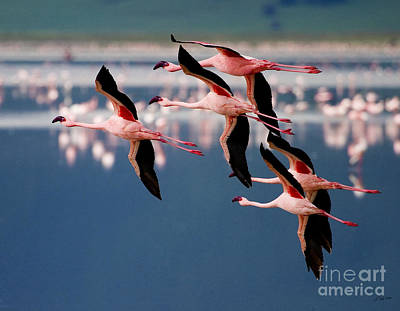 Flamingos In Flight-signed Poster