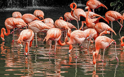 Poster featuring the photograph Flamingo Looking For Food by Pradeep Raja Prints