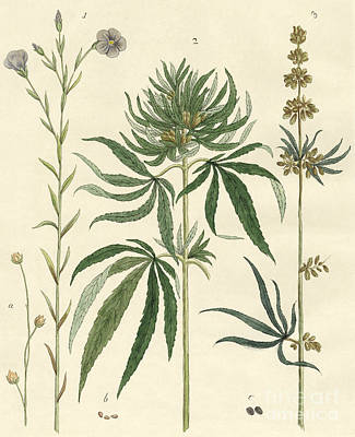 Flax And Hemp Poster