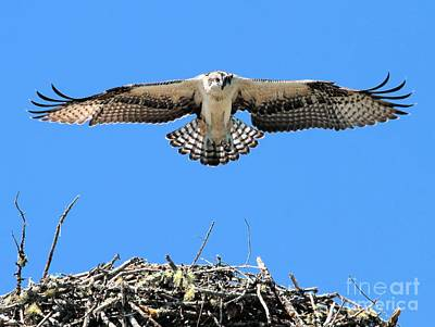 Poster featuring the photograph Flegeling Osprey by Debbie Stahre