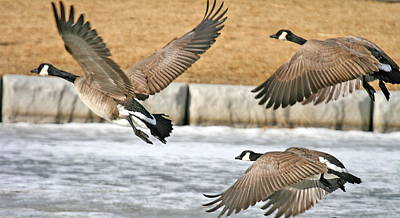 Flight Of Canadian Geese Poster