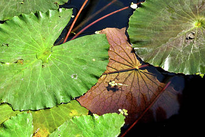 Floating Lily Pads Poster
