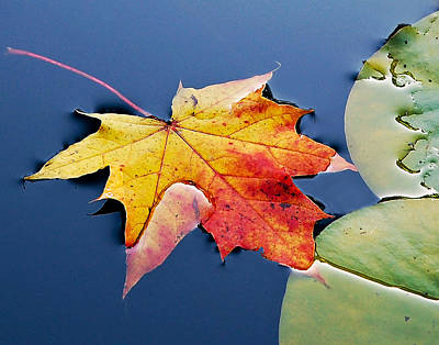 Floating Maple Leaf Poster by Marion McCristall