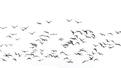 Flock Of Beautiful Migratory Lapwing Birds In Clear Winter Sky I Poster