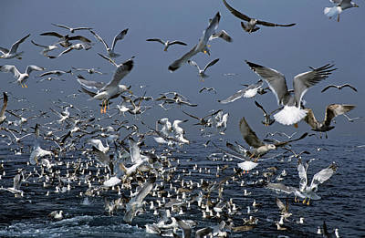 Flock Of Seagulls In The Sea And In Flight Poster