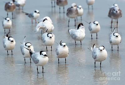 Flock Of Terns Poster