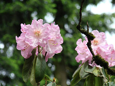 Floral Garden Pink Rhododendron Flowers Baslee Troutman Poster by Baslee Troutman