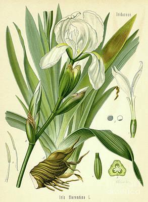 Florentine Iris  Poster by German School