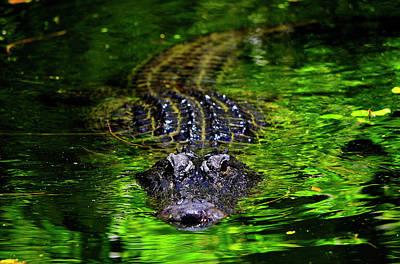 Florida Alligator Encounter Poster