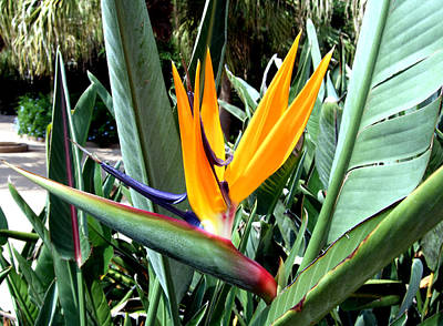 Florida Bird Of Paradise Poster