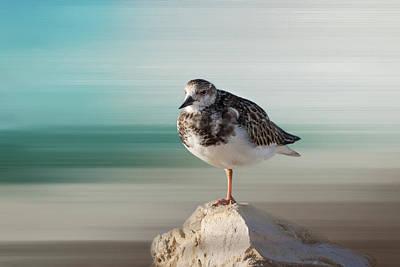 Florida Shore Bird - Ruddy Turnstone Poster by Kim Hojnacki