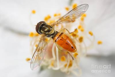 Flower Fly Toxomerus Marginatus Poster