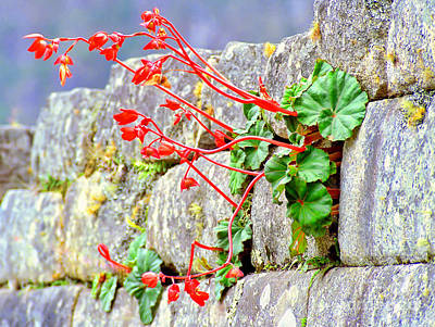 Poster featuring the photograph Flower In An Inca Wall by Nigel Fletcher-Jones