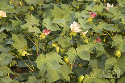 Flowering Cotton Poster by Inga Spence