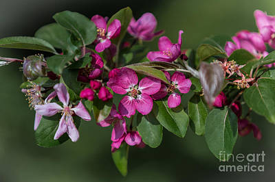 Flowering Crabapple Poster by John Roberts