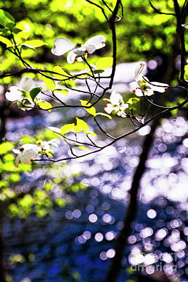 Flowering Dogwood Tree Along A River Poster by George Oze