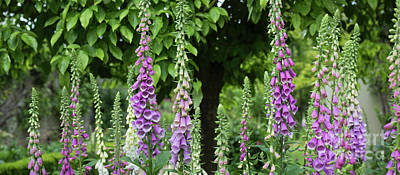 Flowering Foxgloves Poster