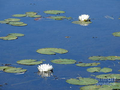 Flowering Lily Pads Poster