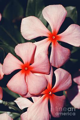Flowering Pink Periwinkle Poster