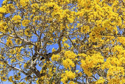 Flowering Tabebuias Tree Poster by Edward Fielding