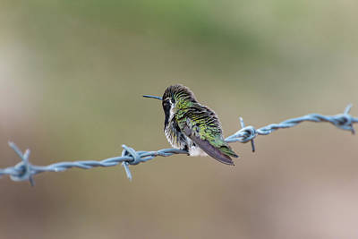 Fluffy Hummingbird Poster