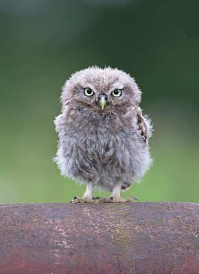 Fluffy Little Owl Owlet Poster