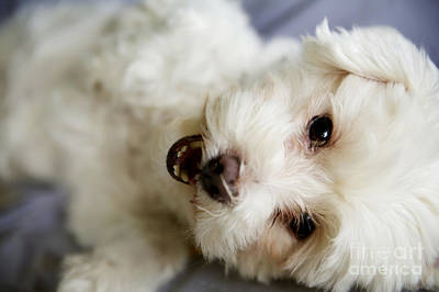 Fluffy Puppy Poster