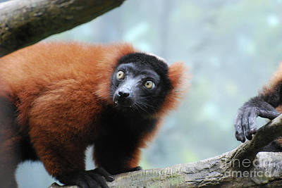 Fluffy Red Ruffed Lemur With Yellow Eyes Poster