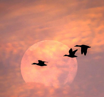 Fly High Moon Geese Square Poster by Terry DeLuco