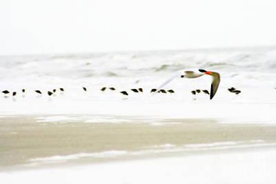Tern In Flight Poster by Angela Rath