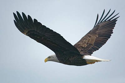 Flying Bald Eagle Poster