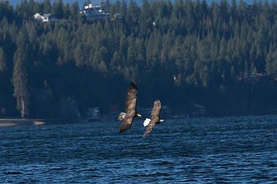 Flying Bald Eagles Poster