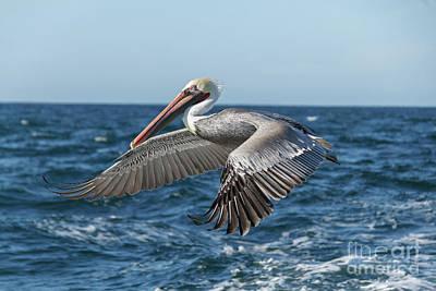 Flying Brown Pelican Poster by Robert Bales
