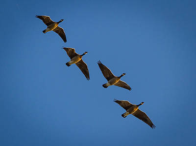 Flying Canada Geese Poster by Jean Noren