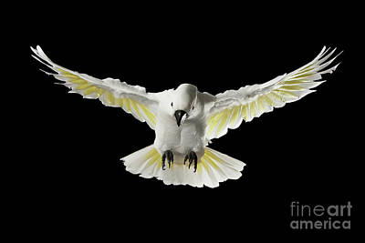 Flying Crested Cockatoo Alba, Umbrella, Indonesia, Isolated On Black Background Poster by Sergey Taran