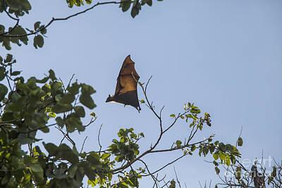 Flying Fox In Sri Lanka Poster